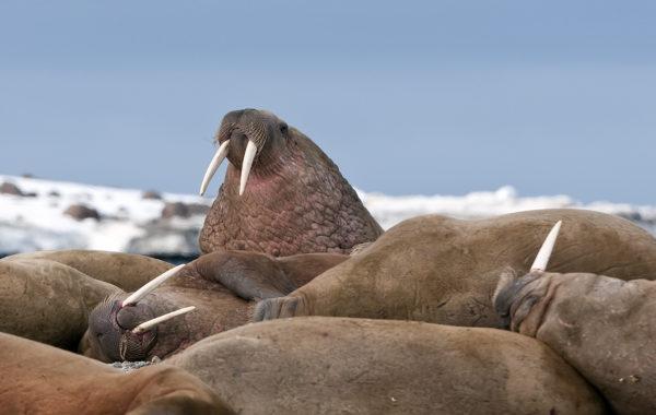 Arctic Mammals