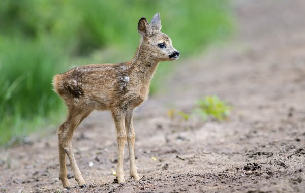 Dutch Deer