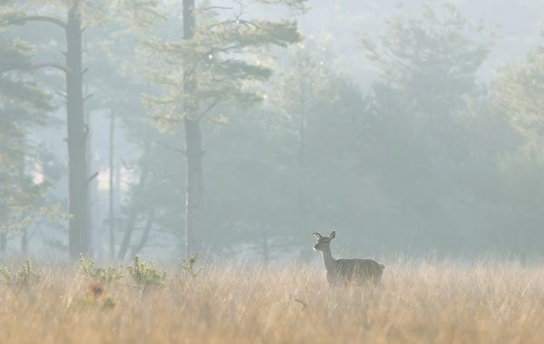 Dutch Deer