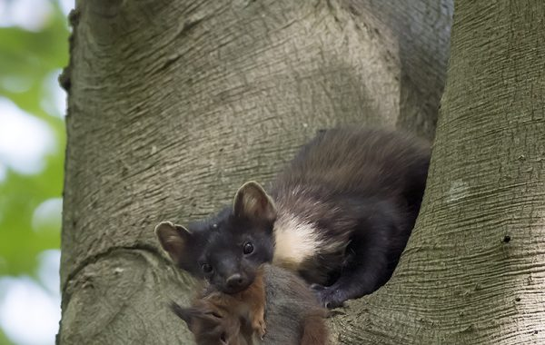 Dutch Mustelids
